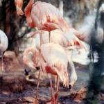 """Flamingos in Filtered Sunlight"" by marshacarson"