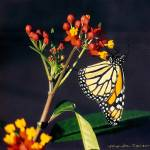"""Milkweed Hosting a Monarch Butterfly"" by marshacarson"