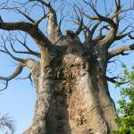 """A giant baobab tree in a blue sky scene"" by Maly"