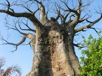 A giant baobab tree in a blue sky scene