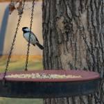 """Chickadee"" by NaturesArtPhotography"