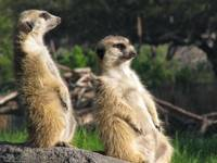 Suricates at work