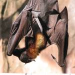 """Vampire bat profile"" by Maly"