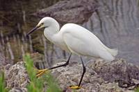Snowy Egret with pretty feet