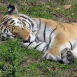 """Sleeping tiger"" by Maly"