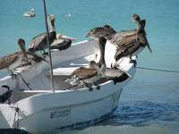 pelicans feeding on a fishing boat