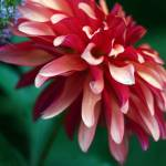 """dahlia delight...."" by twoyost"