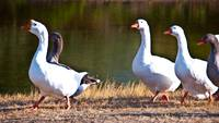 White Geese with Orange Beaks