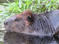 A Visit from the Beaver
