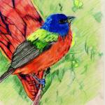 """Painted Bunting"" by oneartiststudio"