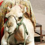"""""""Camel waiting"""" by CarrieWaters"""