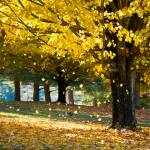 """Wonderland - Autumn Maple Tree Leaf Storm"" by DAPhoto"