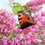 """""""Peacock Butterfly on Buddleia"""" by NatureandWildlife"""