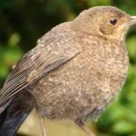 """Fledgling Blackbird 2"" by NatureandWildlife"