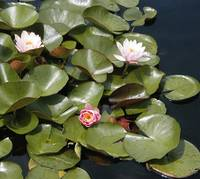 waterlilies copy