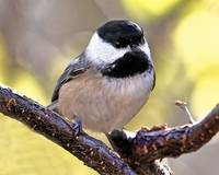 Mr. Black-capped Chickadee