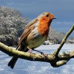 """Robin In Winter"" by Paul_Rumsey"