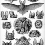 """Vintage Anatomical Artwork of Bats"" by BreedHistoryCards"