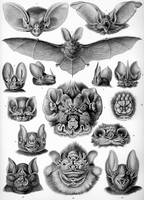 Vintage Anatomical Artwork of Bats