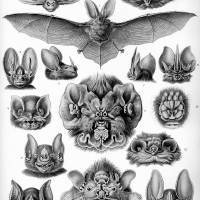 Vintage Anatomical Artwork of Bats Art Prints & Posters by Tails of the Past