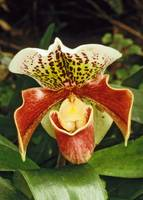 Orchid Paph. 'Winston Churchill'