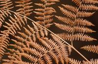 dried Bracken fern