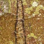 """scarred design in Alder bark"" by KurtThorson"