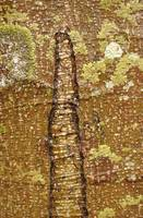 scarred design in Alder bark