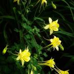 """Vail Columbines"" by JannArtPhotography"