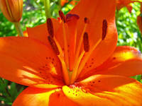 Orange Lily Flower art prints Floral Lilies Garden