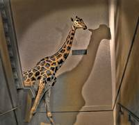 the giraffe on the stairs