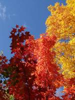 blue sky maples