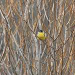 """Bird in Bush"" by gc_photos"