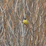 """""""Bird in Bush"""" by gc_photos"""