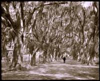 Avenue of live oaks, Audubon Park, New Orleans 190 by WorldWide Archive