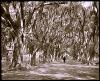 Avenue of live oaks, Audubon Park, New Orleans 190