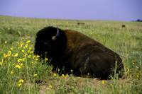American Bison Resting In Meadow