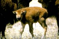 American Bison With Calf