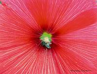 Bee-Loved Red Hibiscus
