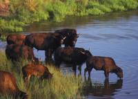 American Bison Herd Drinking At River