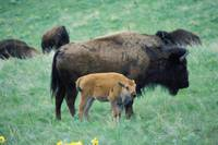 American Bison Cow And Calf