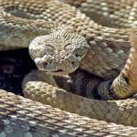 """Mojave Green Rattlesnake"" by wholehearted1"