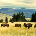 """American Bison Herd Grazing On Hillside"" by rdwittle"