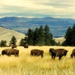 """American Bison Herd Grazing On Hillside"" by rdwittle"