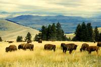 American Bison Herd Grazing On Hillside