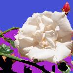 """White Rose abstraction"" by Wendy_Ferguson"
