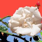 """White Rose abstraction 2"" by Wendy_Ferguson"