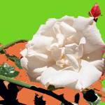 """White Rose abstraction 3"" by Wendy_Ferguson"