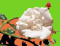 White Rose abstraction 3