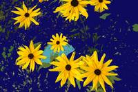 Black Eyed Susans on Navy